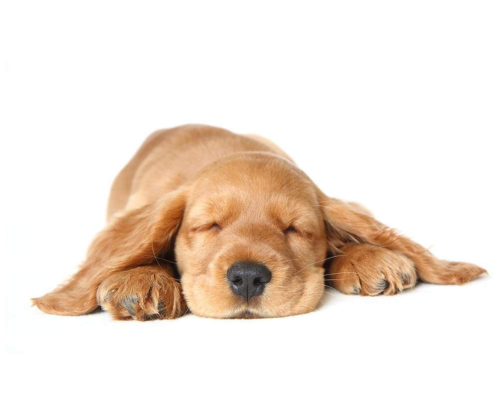שמן CBD לכלבים